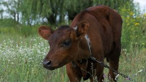 The Gray Calf Cow Graze in a Meadow stock footage
