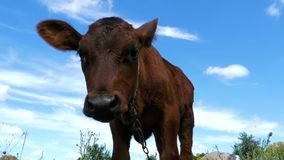 The Gray Calf Cow Graze on a Meadow on Sky Background. Slow Motion stock video
