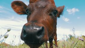 The Gray Calf Cow Graze on a Meadow on Sky Background. Slow Motion stock footage