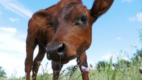 The Gray Calf Cow Graze on a Meadow on Sky Background. Slow Motion stock video footage
