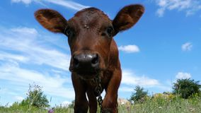 The Gray Calf Cow Graze on a Meadow on Sky Background and Smelling the Camera. Slow Motion stock video footage
