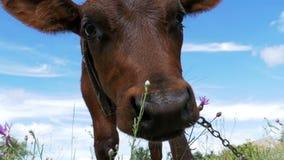 Gray Calf Cow Graze op een Weide op Hemelachtergrond Langzame Motie stock footage