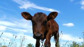 Gray Calf Cow Graze op een Weide op Hemelachtergrond Langzame Motie stock videobeelden