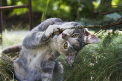 Gray calico cat attack Royalty Free Stock Images
