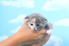 Gray and calico kitten held in young hands. Against blue background with clouds, kitten looking forwards and downwards Stock Image