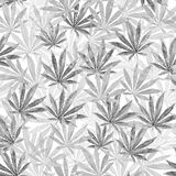 Gray Cannabis leaves on white background Royalty Free Stock Photo