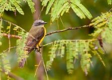 Gray-capped Flycatcher. A Gray-capped Flycatcher (Myiozetetes granadensis) hides in the dense vegetation of the peruvian amazon rainforest Stock Photos
