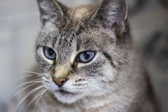 Gray Cat Foto de Stock