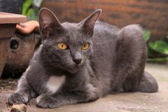Gray Cat Royalty-vrije Stock Fotografie