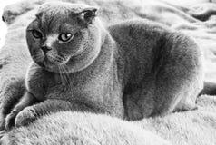 Gray Cat imagenes de archivo