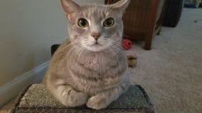 Gray Cat stock afbeelding