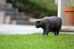 Gray Cat. Hunting small prey in a yard Royalty Free Stock Photos