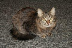 Gray cat. Stock Image