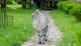 Gray Cat stock video