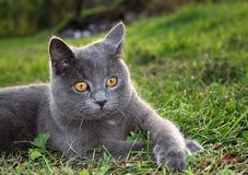 The gray cat. Rest on grass Royalty Free Stock Photos