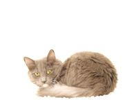 Gray Cat. View of a gray long-fur cat over white stock photography