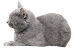 Gray Cat Royalty Free Stock Photos