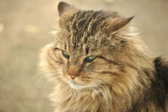 Gray Cat. Closeup image of a domestic cat royalty free stock images