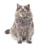 Gray Cat. Stock Images