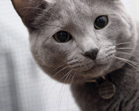 Gray cat. Inquisitive gray cat royalty free stock images