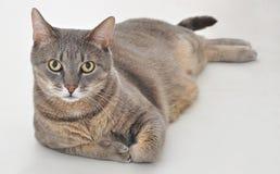 Gray cat. A beautiful gray cat sitting royalty free stock image