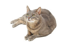 Gray cat. A beautiful gray cat sitting and watching up stock photos