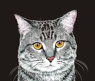 Gray cat. Gray tabby cat with yellow eyes Stock Photography