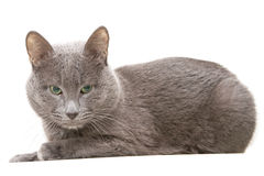 Gray Cat Stock Image