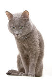 Gray Cat. My lovely cat on white background royalty free stock image