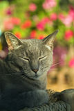 Gray cat. Sun bathing with closed eyes Stock Image