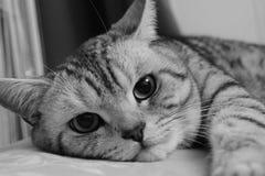 Gray Cat Fotografía de archivo libre de regalías