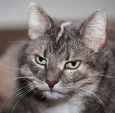 Gray Cat Stockfoto