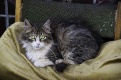 Gray Cat Image stock