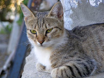 Gray Cat Immagini Stock Libere da Diritti