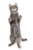 Gray Cat Fotografia Stock Libera da Diritti
