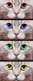 Gray cat. Gray british cat with colored eyes stock photos