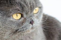 Gray Cat Lizenzfreies Stockbild