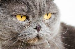 Gray Cat Lizenzfreie Stockbilder