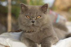 Gray Cat Photo stock