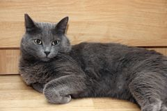 Gray cat Royalty Free Stock Images