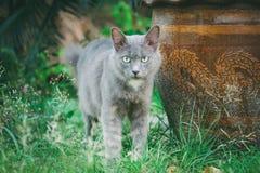 Gray Cat Photo libre de droits