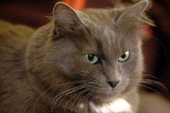 Gray cat. Burmanese gray cat sitting Stock Images