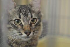 Gray Cat Fotografía de archivo