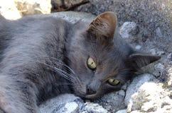 Gray Cat Stock Foto