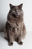 Gray Cat Image stock