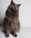 Gray Cat Photographie stock