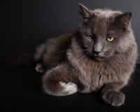 Gray Cat Images libres de droits