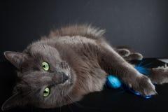 Gray Cat Stockbild