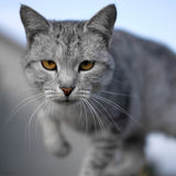Gray cat. Shallow DOF, focus on eyes Stock Photography