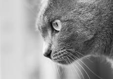 Gray Cat Photographie stock libre de droits